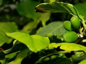 Zelená káva: káva, která prospěje vašemu srdci i hubnutí