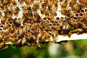 Propolis – včelí zázrak